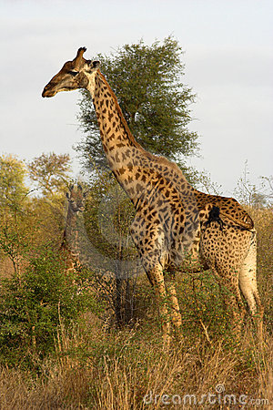 Free Portrait Of A Giraffe Royalty Free Stock Photos - 1089458
