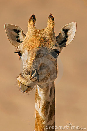 Free Portrait Of A Giraffe  Royalty Free Stock Images - 548989