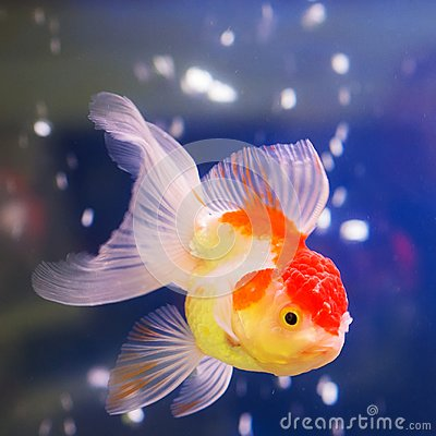 Free Portrait Of A Goldfish Royalty Free Stock Photography - 107968497