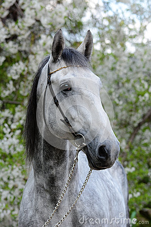 Free Portrait Of A Gray Orlov Trotter Breed Horse Royalty Free Stock Photo - 72642295