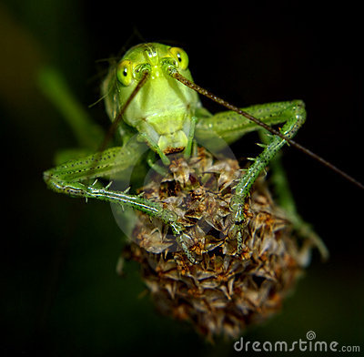 Free Portrait Of A Green Locust Stock Photography - 17636572