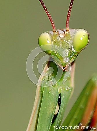 Free Portrait Of A Mantis Stock Images - 11489194