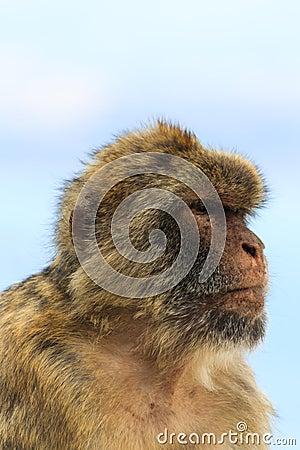 Free Portrait Of A Monkey Royalty Free Stock Photo - 45025235