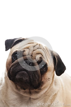 Free Portrait Of A Pug. Stock Photography - 104325392