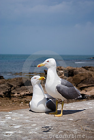 Free Portrait Of A Seagull Essaouir Stock Photo - 2454200