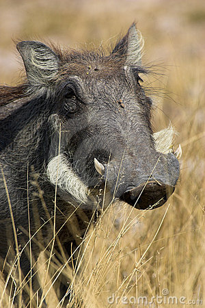 Free Portrait Of A Warthog Royalty Free Stock Photo - 3088015