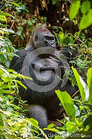 Free Portrait Of A Western Lowland Gorilla (Gorilla Gorilla Gorilla) Close Up Royalty Free Stock Photo - 65450585