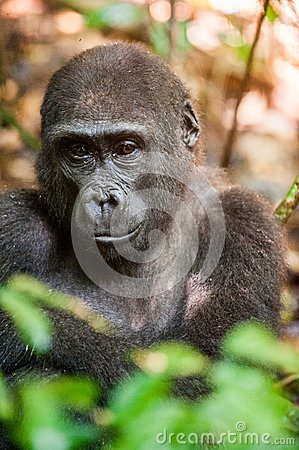 Free Portrait Of A Western Lowland Gorilla (Gorilla Gorilla Gorilla) Close Up At A Short Distance In A Native Habitat. Stock Photography - 63415702