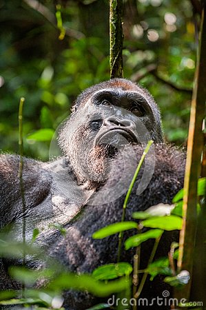 Free Portrait Of A Western Lowland Gorilla (Gorilla Gorilla Gorilla) Close Up At A Short Distance. Silverback - Adult Male Of A Gorilla Stock Images - 63531554