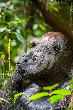 Free Portrait Of A Western Lowland Gorilla (Gorilla Gorilla Gorilla) Close Up At A Short Distance. Silverback - Adult Male Of A Gorilla Stock Photography - 63531652
