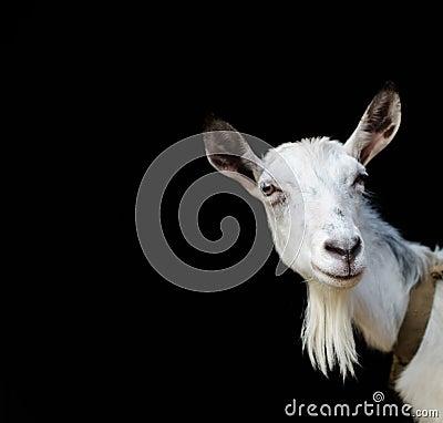 Free Portrait Of A White Goat Closeup On A Black Background. Stock Photos - 84017563