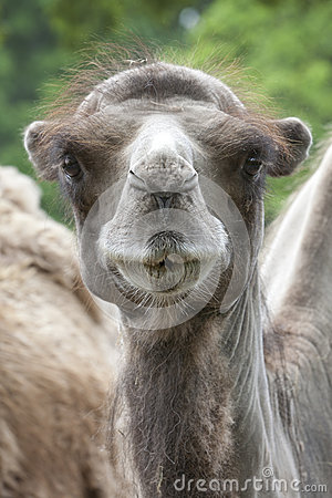 Free Portrait Of A Young Camel Royalty Free Stock Photography - 32793907