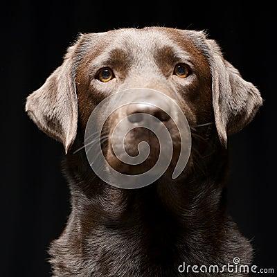Free Portrait Of An Adorable Labrador Retriever Stock Image - 100187991