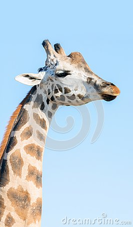 Free Portrait Of An African Giraffe. Head And Long Neck. Stock Images - 104229014