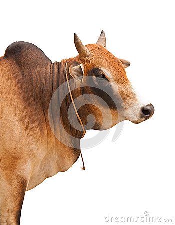 Free Portrait Of An Ox Stock Photo - 29421780
