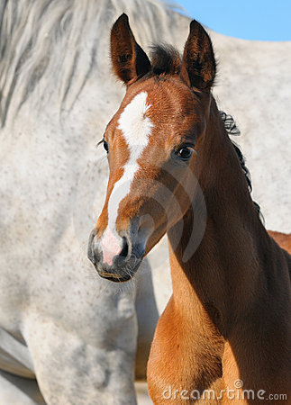 Free Portrait Of Bay Foal Stock Photos - 23282733