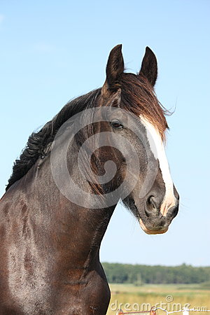 Free Portrait Of Beautiful Shire Horse On Sky Background Royalty Free Stock Photography - 51890997