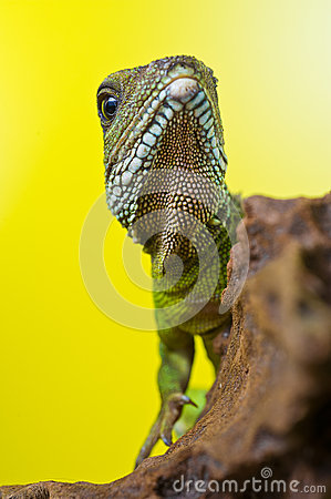 Free Portrait Of Beautiful Water Dragon Lizard Reptile Sitting On A B Royalty Free Stock Images - 31331029
