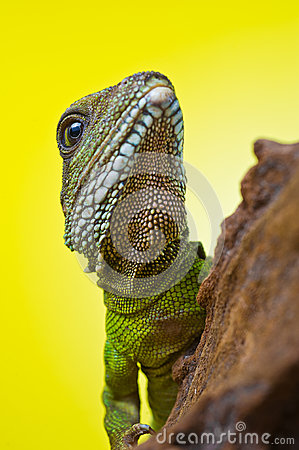 Free Portrait Of Beautiful Water Dragon Lizard Reptile Sitting On A B Stock Images - 31331034