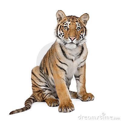 Free Portrait Of Bengal Tiger, 1 Year Old, Sitting Stock Image - 10781421