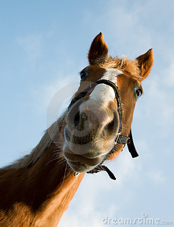 Free Portrait Of Brown Horse Royalty Free Stock Photography - 7973747