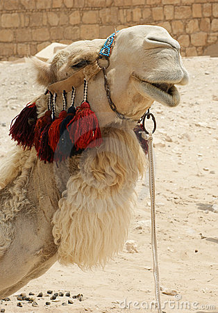 Free Portrait Of Camel Royalty Free Stock Photos - 5371018