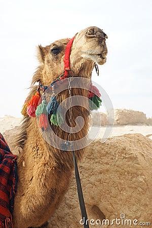 Free Portrait Of Camel Stock Photo - 5371050