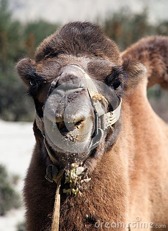 Free Portrait Of Camel Head Stock Images - 37578564