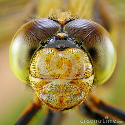 Free Portrait Of Dragonfly Stock Photo - 34813630