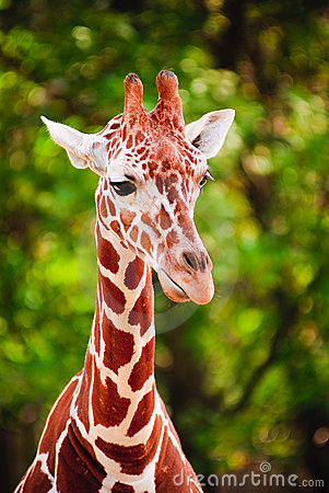 Free Portrait Of Giraffe Stock Images - 12061074