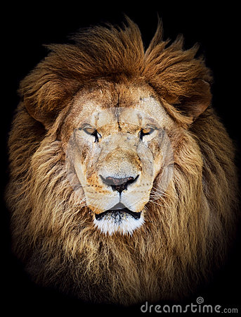 Free Portrait Of Huge Beautiful Male African Lion Against Black Backg Stock Photos - 42452173