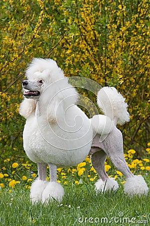 Free Portrait Of King Size White Poodle Dog Stock Photo - 12337400