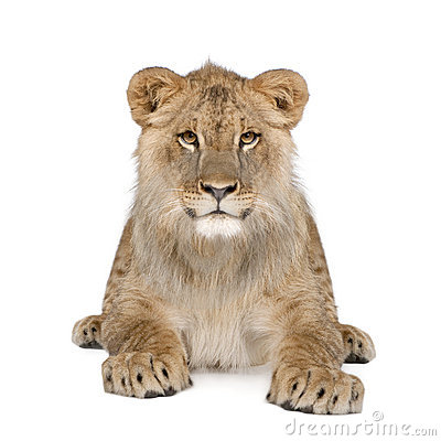 Free Portrait Of Lion Cub Against White Background Royalty Free Stock Photos - 11290818