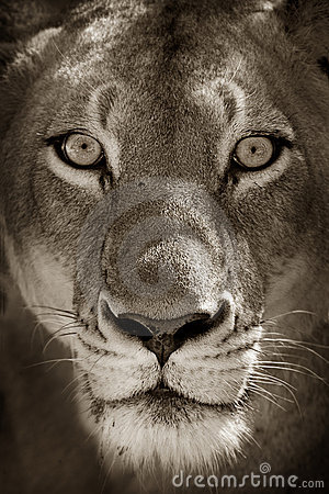 Free Portrait Of Lioness Royalty Free Stock Image - 20815756