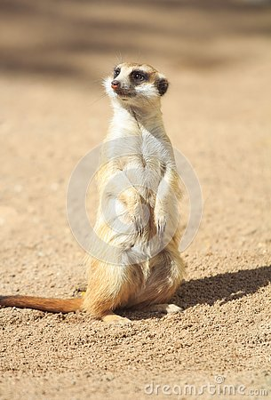 Free Portrait Of Meerkat Suricata Suricatta, African Native Animal, Small Carnivore Stock Photography - 133217802