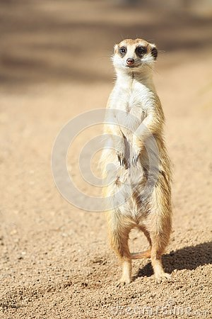 Free Portrait Of Meerkat Suricata Suricatta, African Native Animal, Small Carnivore Royalty Free Stock Image - 133219936