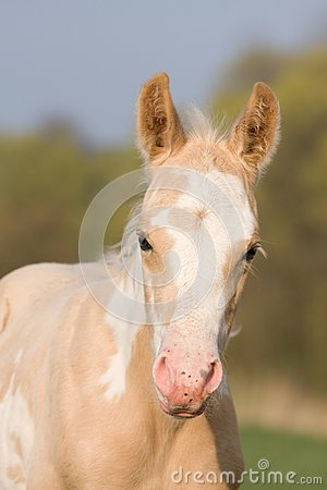 Free Portrait Of Paint Horse Foal Stock Images - 32591514