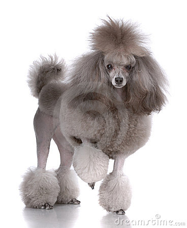 Free Portrait Of Poodle Royalty Free Stock Photo - 13224955