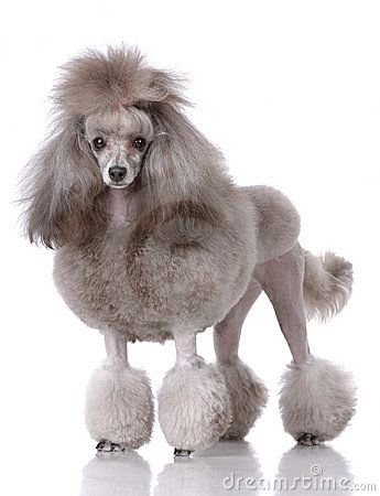 Free Portrait Of Poodle Royalty Free Stock Image - 13224966