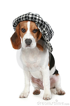 Free Portrait Of Puppy Beagle In A Cap Stock Photography - 16567892