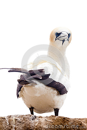 Free Portrait Of Resting Gannet Isolated On White Royalty Free Stock Photos - 25066628