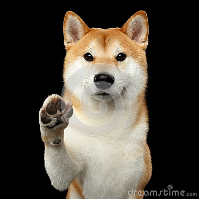 Free Portrait Of Shiba Inu Dog Isolated Black Background Stock Images - 97023894