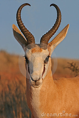 Free Portrait Of Springbok Royalty Free Stock Photos - 2491938