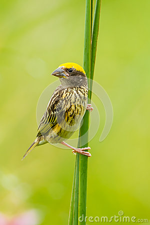 Free Portrait Of Streaked Weaver Royalty Free Stock Images - 42379539