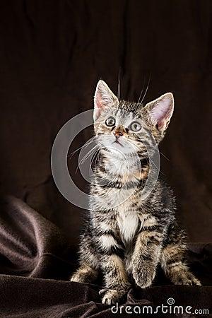 Free Portrait Of Tabby Kitten With Few Red Spots Stock Photo - 103487050