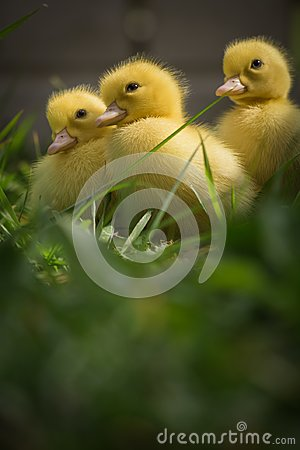 Free Portrait Of Three Cute Yellow Fluffy Ducklings In Springtime Green Gras Stock Image - 113883551