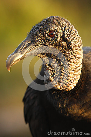 Free Portrait Of Turkey Vulture Royalty Free Stock Image - 28620636