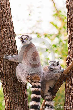 Free Portrait Of Two Ring-tailed Lemur Lemur Catta On Tree Branches Royalty Free Stock Image - 102694396