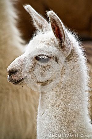 Free Portrait Of White Llama Royalty Free Stock Images - 51389929