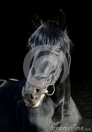 Free Portrait Of Wonderful Black Sportive Stallion Royalty Free Stock Photo - 39007375